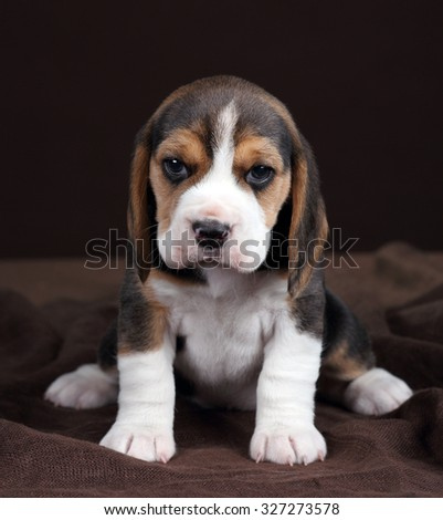Cute puppy beagle on brown background stock photo 327273578 cute puppy beagle on a brown background voltagebd Image collections