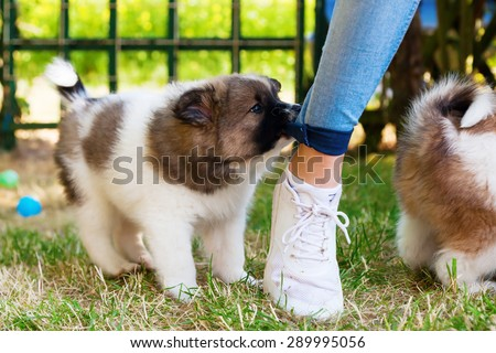 cute puppy bites in the trouser of a young girl - stock photo