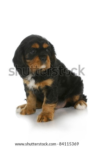 cute puppy - black and tan cavalier king charles spaniel puppy looking off to the side - 6 weeks old