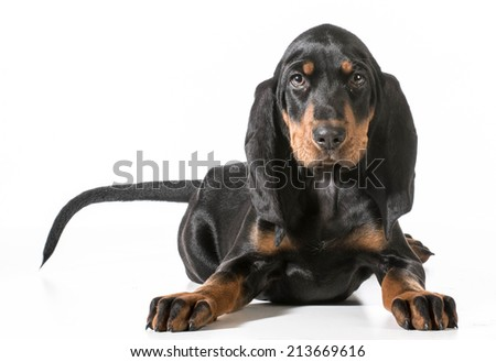 cute puppy - black and tan coonhound laying down on white background - stock photo