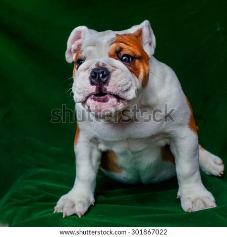 cute puppy -  bulldog puppy laying down  - stock photo