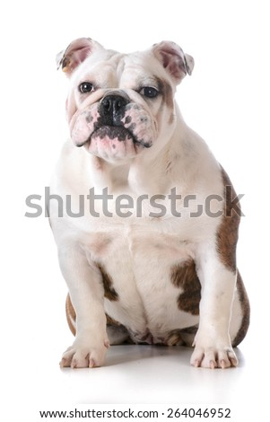 cute puppy - bulldog with silly expression sitting on white background