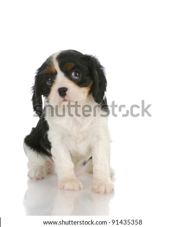 cute puppy - cavalier king charles spaniel puppy looking up out of corner of eyes - 7 weeks old - stock photo