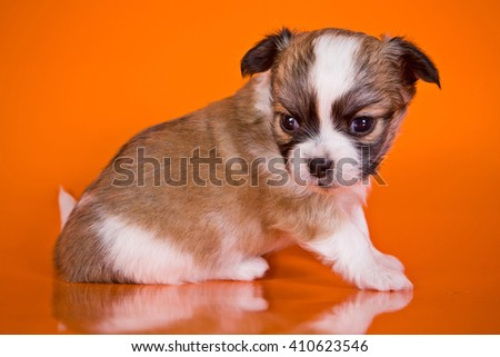 Cute puppy chihuahua dog on an orange background - stock photo
