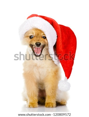 cute puppy dog in red christmas Santa hat, isolated on white background