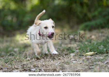Cute puppy dog is running and jumping playfully outdoors with mouth open and tongue out. - stock photo