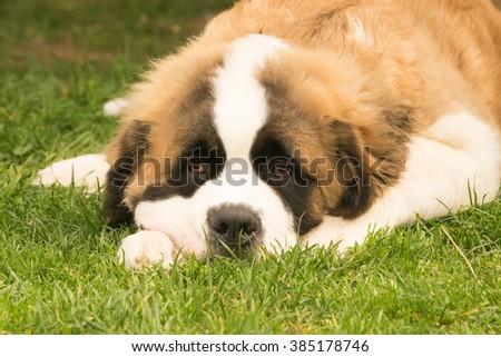 Cute puppy dog Saint Bernard resting at a park. - stock photo