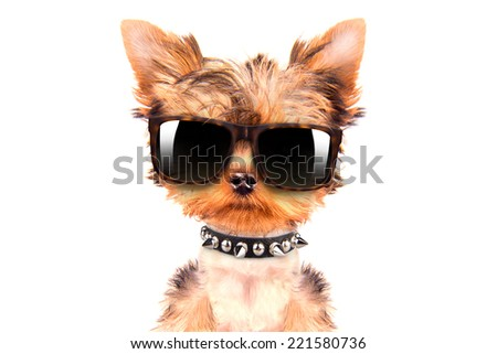 cute puppy dog wearing a shades on white background
