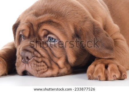 cute puppy - dogue de bordeaux puppy laying down on white background - 5 weeks old - stock photo
