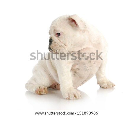 cute puppy - english bulldog puppy looking over shoulder isolated on white background - 12 weeks old - stock photo