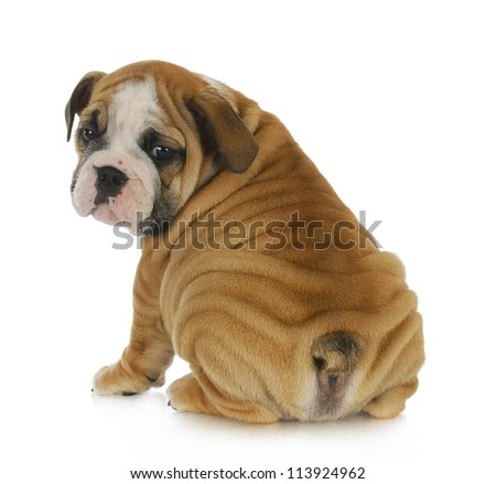 cute puppy - english bulldog puppy looking over shoulder 8 weeks old - stock photo