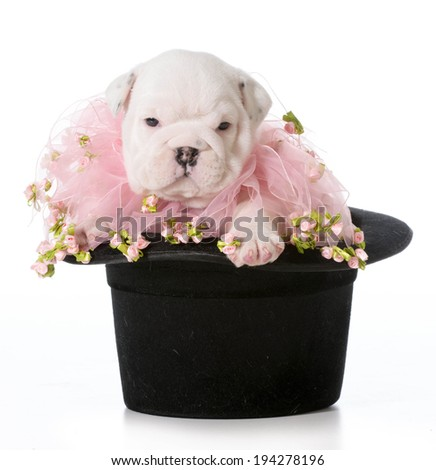 cute puppy - english bulldog puppy sitting in a black tophat - stock photo