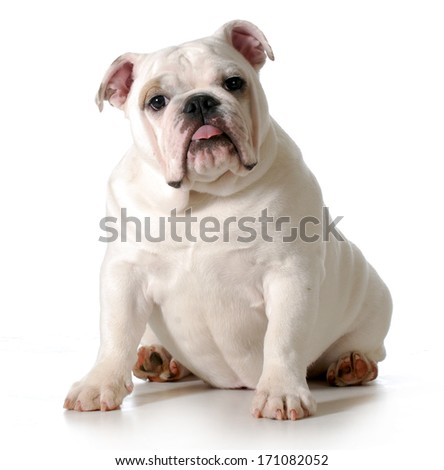 Bored English Bulldog Cute Puppy English Bulldog
