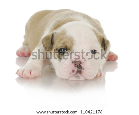 cute puppy - english bulldog puppy - 3 weeks old - stock photo