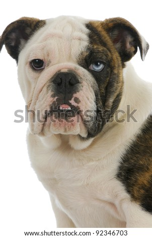 cute puppy - english bulldog puppy with one brown eye and one blue eye - 4 months old - stock photo