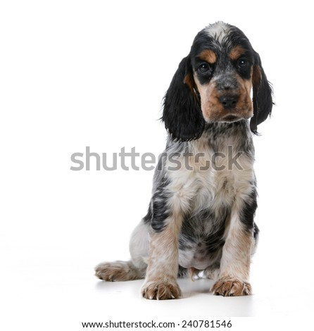 cute puppy - english cocker spaniel puppy  sitting on white background - stock photo