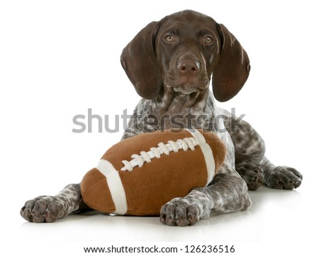 cute puppy- german short haired pointer puppy with stuffed football isolated on white background - stock photo