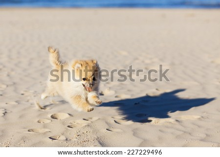Cute puppy German Spitz running on the beach selective focus - stock photo