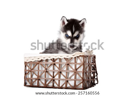 Cute puppy Husky in a basket on a white background - stock photo