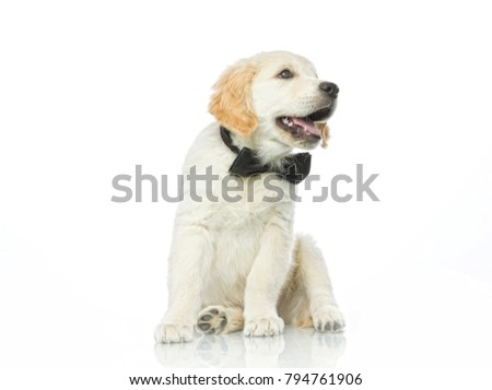 cute puppy in bow tie isolated on white studio shot retriever sitting