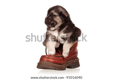 Cute puppy in old boot on a white background