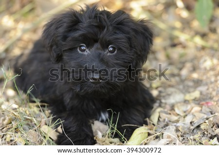 Cute puppy is an adorable big eyed fluffy puppy looking up with a look that says it all. - stock photo