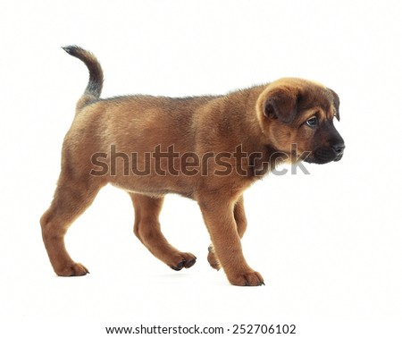 Cute puppy isolated on white - stock photo