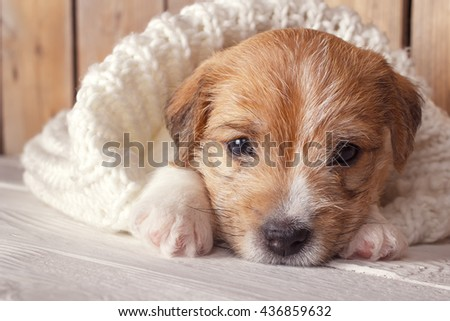 Cute puppy Jack Russell Terrier lying in a white knit blanket. Cozy winter at home. Instagram filter - stock photo