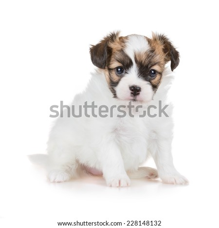 Cute puppy of breed papillon on white background - stock photo