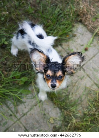 Cute puppy of the Continental Toy spaniel - Papillon - stock photo