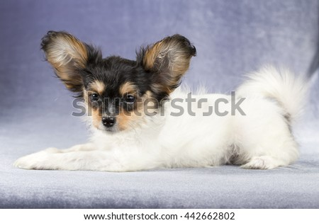 Cute puppy of the Continental Toy spaniel - Papillon - on a blue-gray background - stock photo