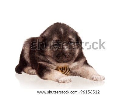 Cute puppy of 3 weeks old with gold medal on a white background