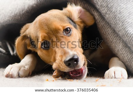 Cute puppy peeking out from under warm blanket. Selective focus