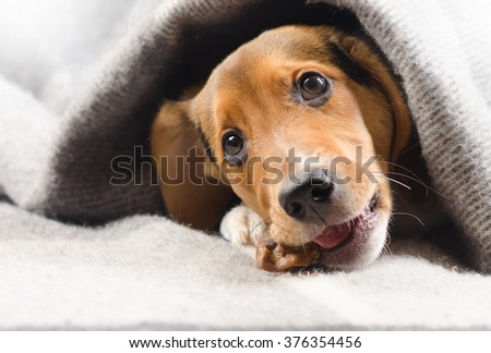 Cute puppy peeking out from warm blanket. Selective focus - stock photo