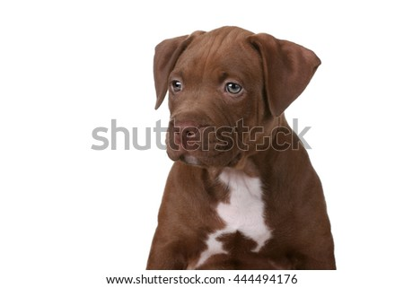 Cute puppy pit bull terrier, portrait on a white background - stock photo