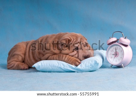 Cute Puppy reluctant to wake-up and overslept the alarm - stock photo