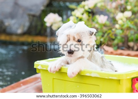 Cute puppy siberian husky bathing in green plastic box. - stock photo