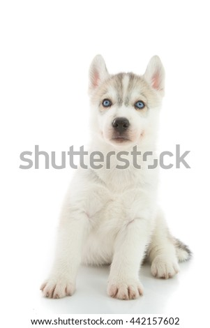 Cute Puppy Siberian husky on white background