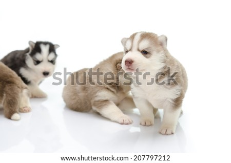 Cute puppy siberian husky on white,isolated