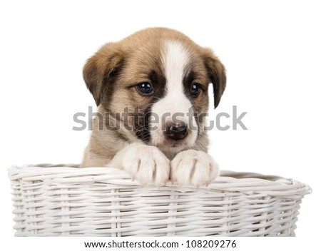 cute puppy sitting in the basket. isolated on white background - stock photo