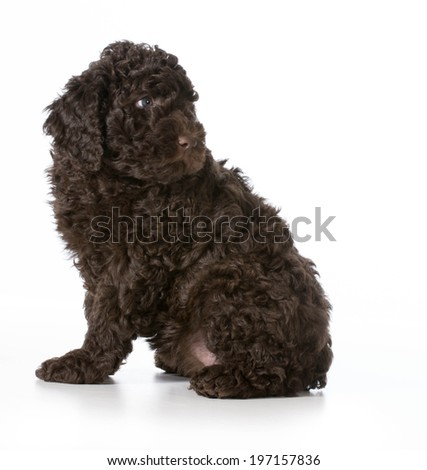 cute puppy sitting looking over shoulder - barbet 7 weeks old