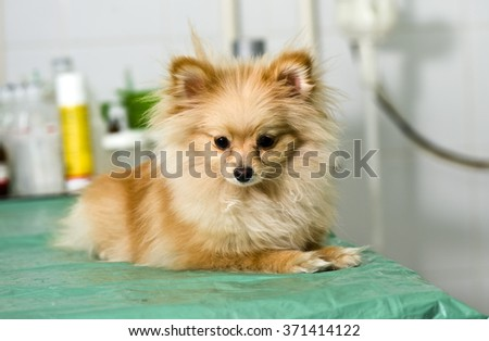 cute puppy(spitz) on operating table in veterinarian's clinic
