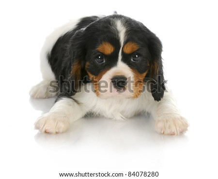 cute puppy - tri-color cavalier king charles spaniel puppy laying down looking at viewer - 6 weeks old - stock photo