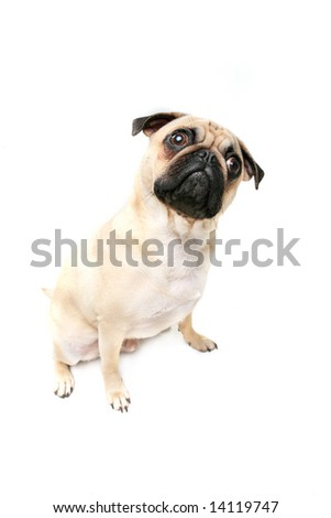 Cute Puppy watching owner. - stock photo