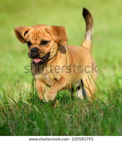 cute puppy 10 weeks Puggle Dog Designer Dog Pug and Beagle  - stock photo