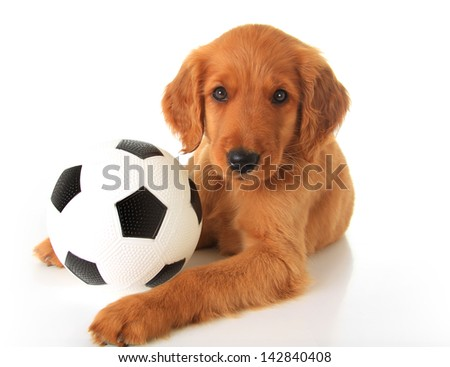 Cute puppy with a soccer ball/ football