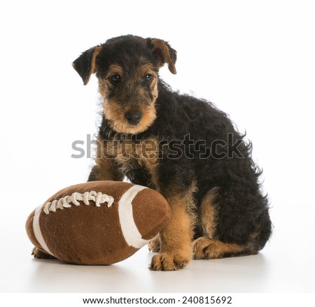 cute puppy with a stuffed ball - airedale terrier - stock photo