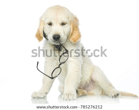 cute puppy with glasses isolated on white studio shot looking at camera retriever