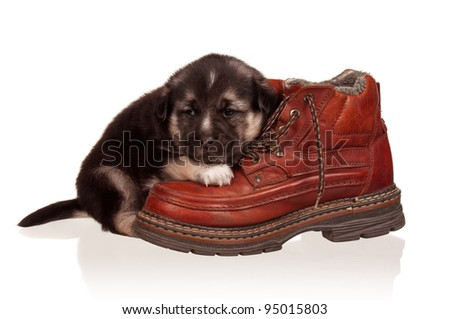 Cute puppy with old boot on a white background