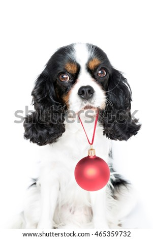 cute puppy with red christmas ball isolated on white background